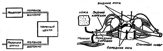 Слева показана схема рефлекса